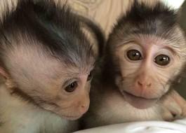 Cientistas chineses criam macacos autistas em pesquisa cruel