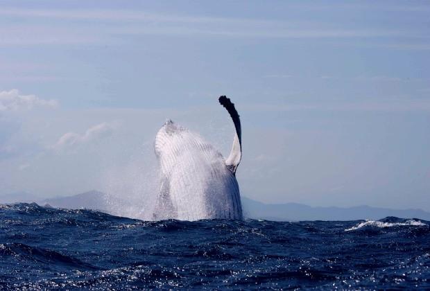 Pescador em canoa é surpreendido por duas baleias jubarte de 50 toneladas