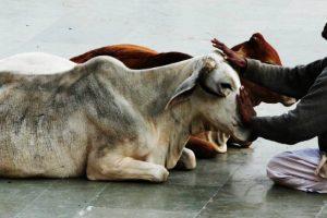 Cow_stroker