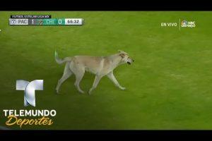 VEJA VÍDEO – Gato e cachorro invadem gramado em jogo do Campeonato Mexicano