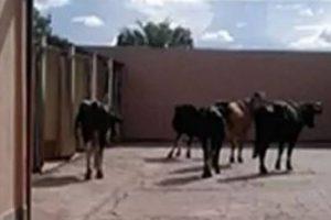 Após acidente, vacas levadas em caminhão vão parar dentro de motel