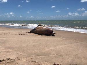 golfinho morto bessa 300x225 - Banhistas encontram golfinho morto na praia do Bessa, em João Pessoa