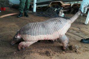 Tatu gigante ameaçado de extinção é resgatado ferido no Tocantins