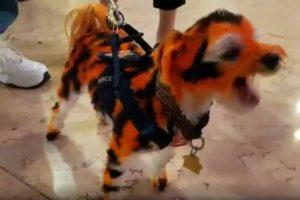 cão tigre 840x560 300x200 - VEJA VÍDEO: Fã de futebol americano 'transforma' cão em tigre