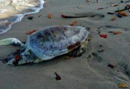 Tartaruga Marinha é encontrada morta em praia da Grande João Pessoa
