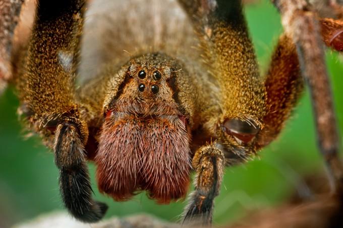 aranha armadeira - Veneno de aranha brasileira poderá ser usado para criar remédio mais eficaz do que o Viagra