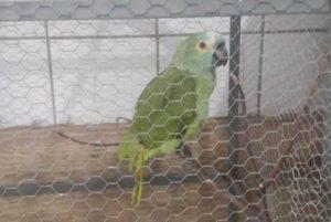 1 papagaio 10802573 300x201 - PAPAGAIO DO TRÁFICO: animal é apreendido após anunciar chegada de policiais: 'Mamãe, polícia!'