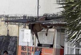 Vaca pula muro e cai no telhado de lanchonete