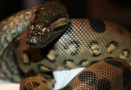 Cobra sucuri fêmea engravida a si mesma e tem filhotes saudáveis