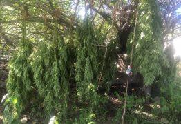 COLHEITA FELIZ: Polícia encontra mais de 700 pés de maconha durante operação em Teixeira, PB