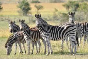 1 zebra 13249405 300x201 - Pesquisadores pintam vaca como zebra e chegam a resultado bizarro