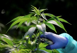 Movimentando Bilhões, o mercado da cannabis é uma realidade e você pode investir nele