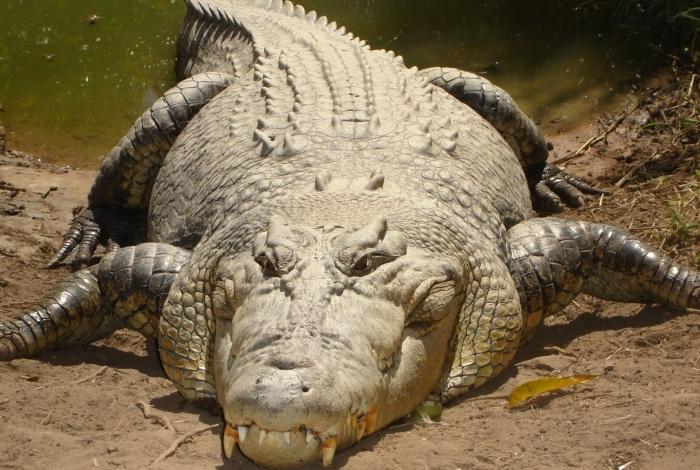1 crocodilo 14325411 - Após ser atacado, pescador arranca olho de crocodilo