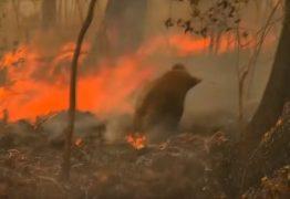 Coala é resgatado aos prantos durante incêndio na floresta – VEJA VÍDEO