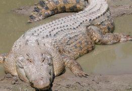 Menina salva amiga de ataque de crocodilo enquanto nadava