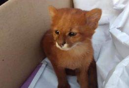 Jovem descobre que gatinho adotado era um puma selvagem