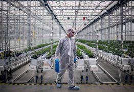 Bancada evangélica pode travar proposta de plantio da Cannabis