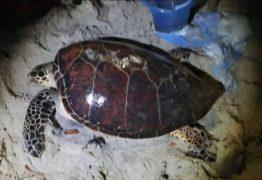 AMPARO: ONG resgata tartaruga marinha viva em praia do litoral paraibano