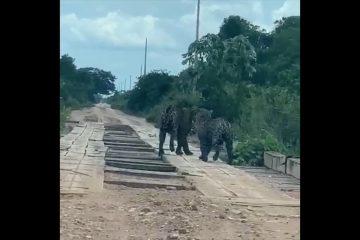 8142716 x720 360x240 - Casal de onças-pintadas é flagrado por grupo de amigos em estrada -VEJA VÍDEO