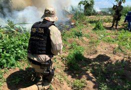 PF 'queima' mais de 1 milhão de pés de maconha no interior de Pernambuco