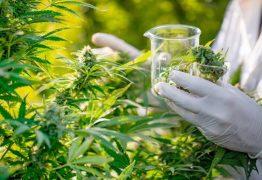 Anvisa vota hoje regulação da maconha medicinal