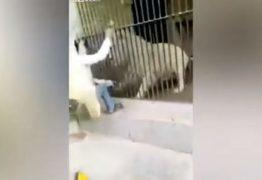 Leão albino ataca tratador ao ser alimentado – VEJA VÍDEO