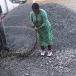 píton 150x150 - Mulher lidera resgate de píton de 20 kg e captura cobra com as próprias mãos - VEJA VÍDEO