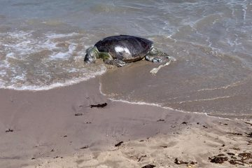 Tartaruga marinha é encontrada morta em praia da grande João Pessoa e preocupa ambientalistas