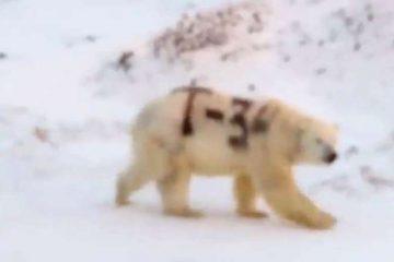 unnamed file 360x240 - Mensagem misteriosa pintada em urso polar na Rússia alarma pesquisadores - VEJA VÍDEO