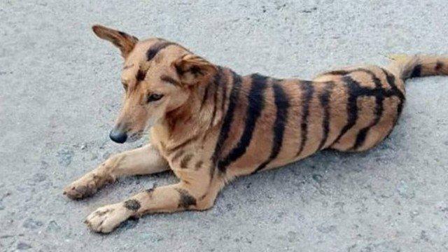 xblog dog tiger india.jpg.pagespeed.ic .KazGXXSdf4 - Agricultor transforma cão em tigre para afugentar macacos de plantação