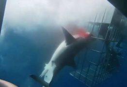 Tubarão-branco morre ao ficar preso em gaiola de segurança – VEJA VÍDEO