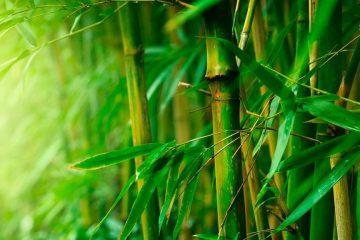 bambu crescimento paisagismo dicas.png 1024x576 360x240 - A SABEDORIA DO BAMBU - Por Rui Leitão