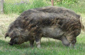 Fazendeiro de 71 desmaia e é devorado por seus porcos