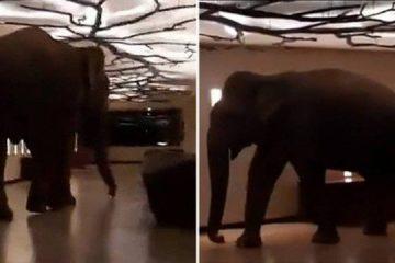 Elefante selvagem invade hotel e se torna 'hóspede regular' – VEJA VÍDEO