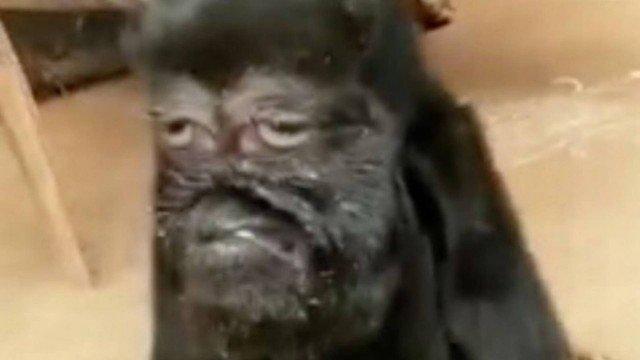 xblog goat.jpg.pagespeed.ic .VsZYjowKyh - ATRAINDO FIÉIS: cabra com 'face humana' é reverenciada como 'avatar de Deus'