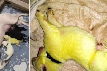 Pastora alemã branca dá à luz filhote verde-limão