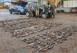 Cães caçam 730 ratazanas que infestavam fazenda
