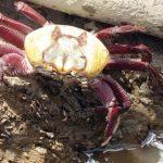 1485451347 234414878 747x429 150x150 - OPERAÇÃO IBAMA: Mais de 6 mil caranguejos são apreendidos na Paraíba