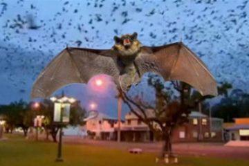 Infestação de morcegos na Austrália faz cidade ficar confinada