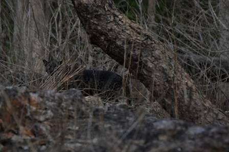 xblog leopard india.jpg.pagespeed.ic .FW 6OzpyqD - Turista flagra raríssimo leopardo negro