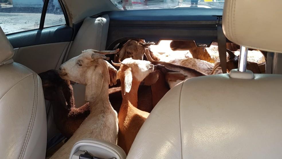 cabras - Foragido por estupro é recapturado ao ser flagrado com 11 cabras dentro de carro, em Cruz do Espírito Santo