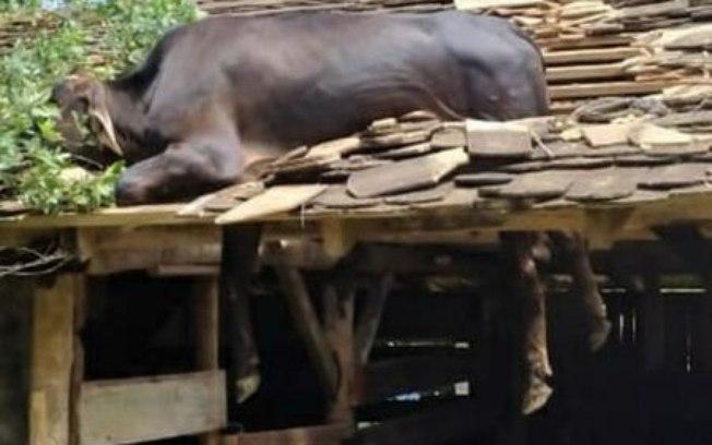 vaca telhado - Vaca fica presa em telhado e é salva por bombeiros