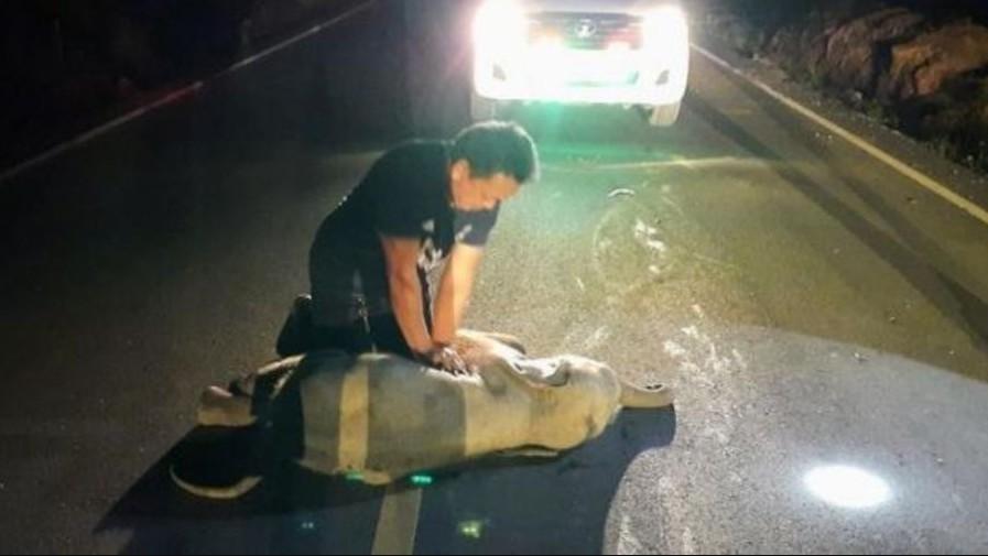 elef - Após reanimação cardiorrespiratória bebê elefante tailandês sobrevive a atropelamento por moto