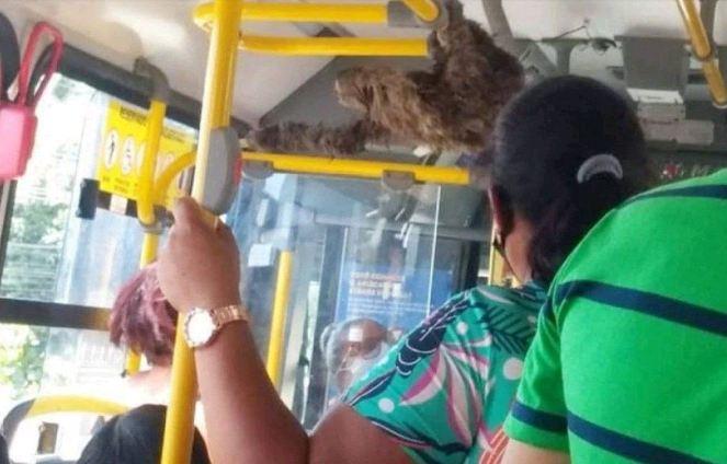 Capturar 30 - Bicho-preguiça 'passeia' de ônibus após ser resgatado por cobrador