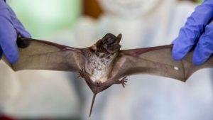116878735 gettyimages 1228470807 300x169 - ORIGEM DA COVID-19: Pesquisadores descobrem 24 genomas de coronavírus em morcegos na China