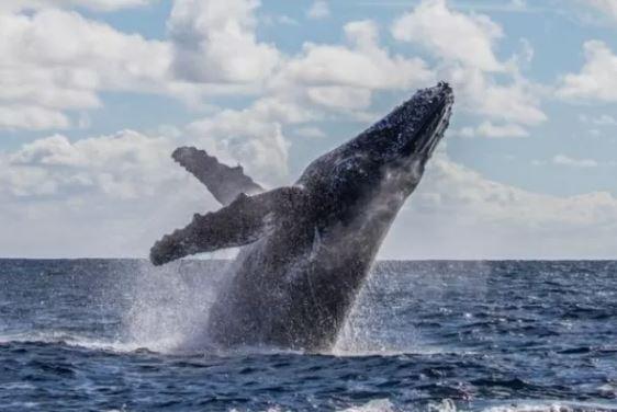 BALEIA BALEIA BALEIA - A incrível história do pescador que sobreviveu após ser 'engolido' e cuspido por uma baleia