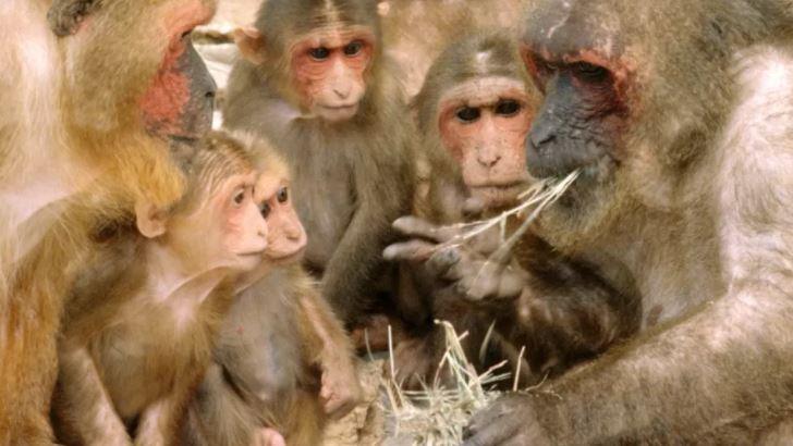 MACACOS - RARO E MORTAL: China registra 1ª morte de humano devido a vírus raro de macaco