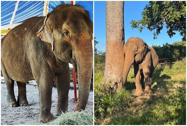 AUTONOMIA E DESCANSO: Elefanta Lady tem vida de cuidados após deixar circo e zoológico
