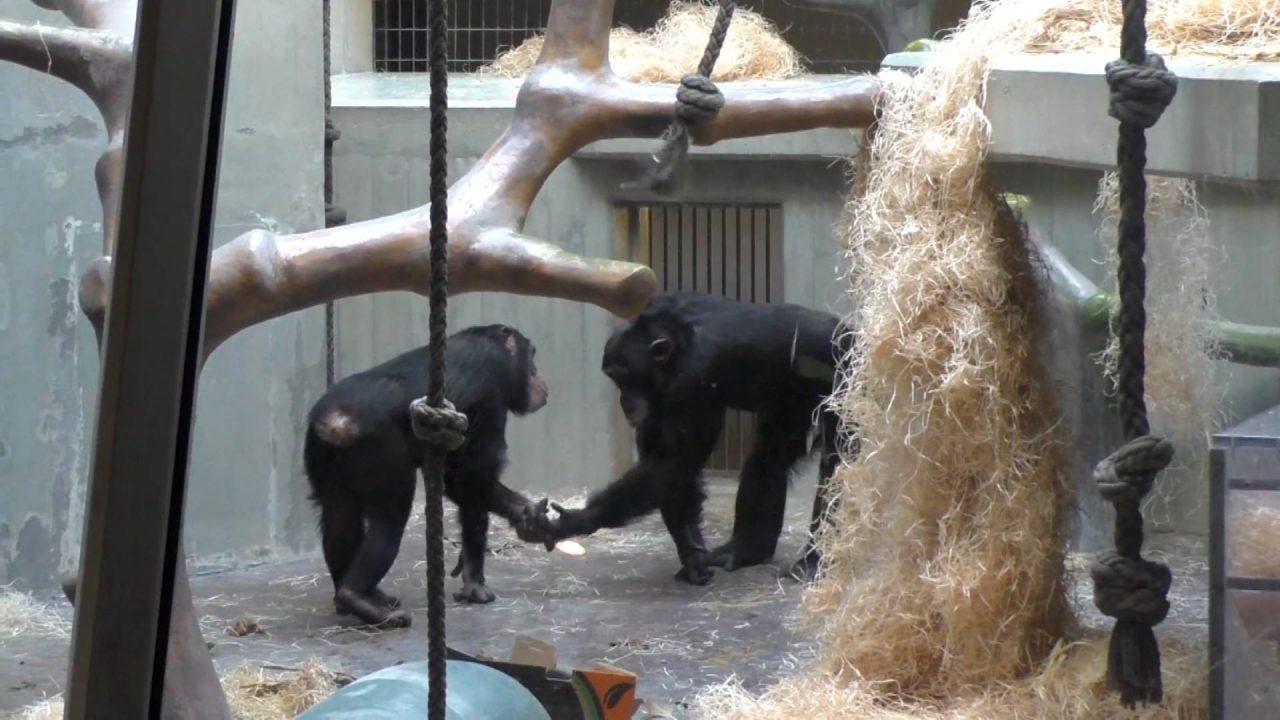 51734 473989C43674B4CE scaled - SAUDAÇÕES: Macacos dizem olá e adeus, assim como os humanos, revela pesquisa