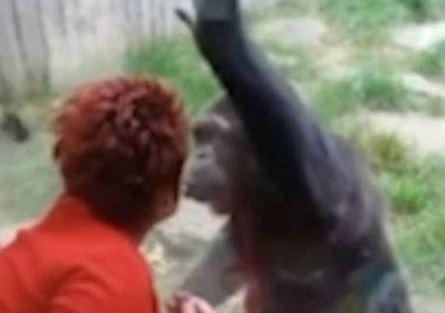 Capturar.JPGll  1 - Mulher é proibida de frequentar zoo após manter 'caso amoroso' com chimpanzé